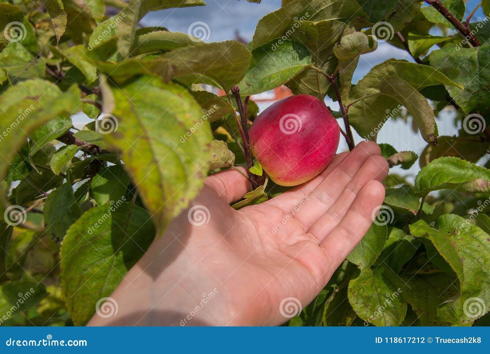在树的红色显示健康食物和好收获概念的苹果和手