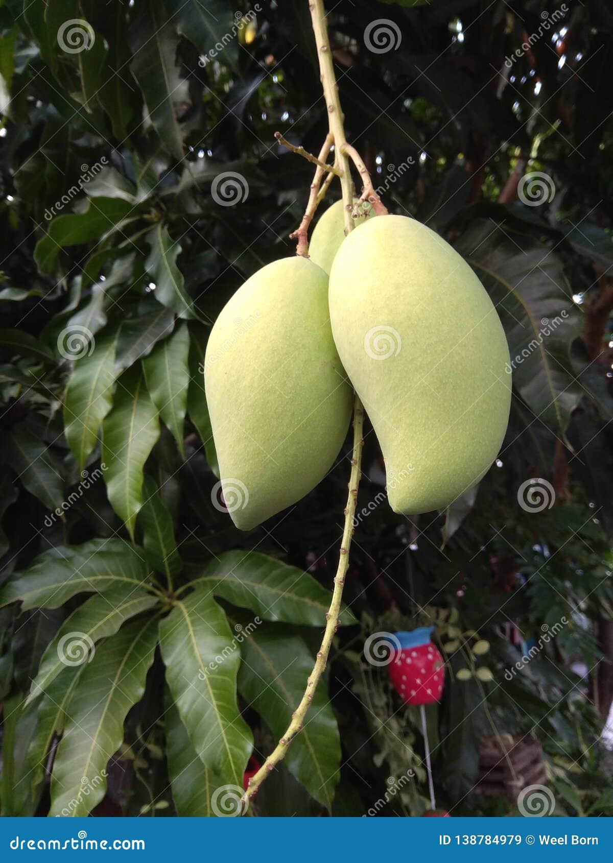 在树的芒果果子在自然