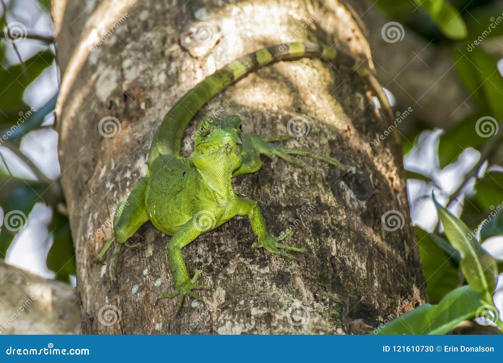 在树的鲜绿色蛇怪蜥蜴