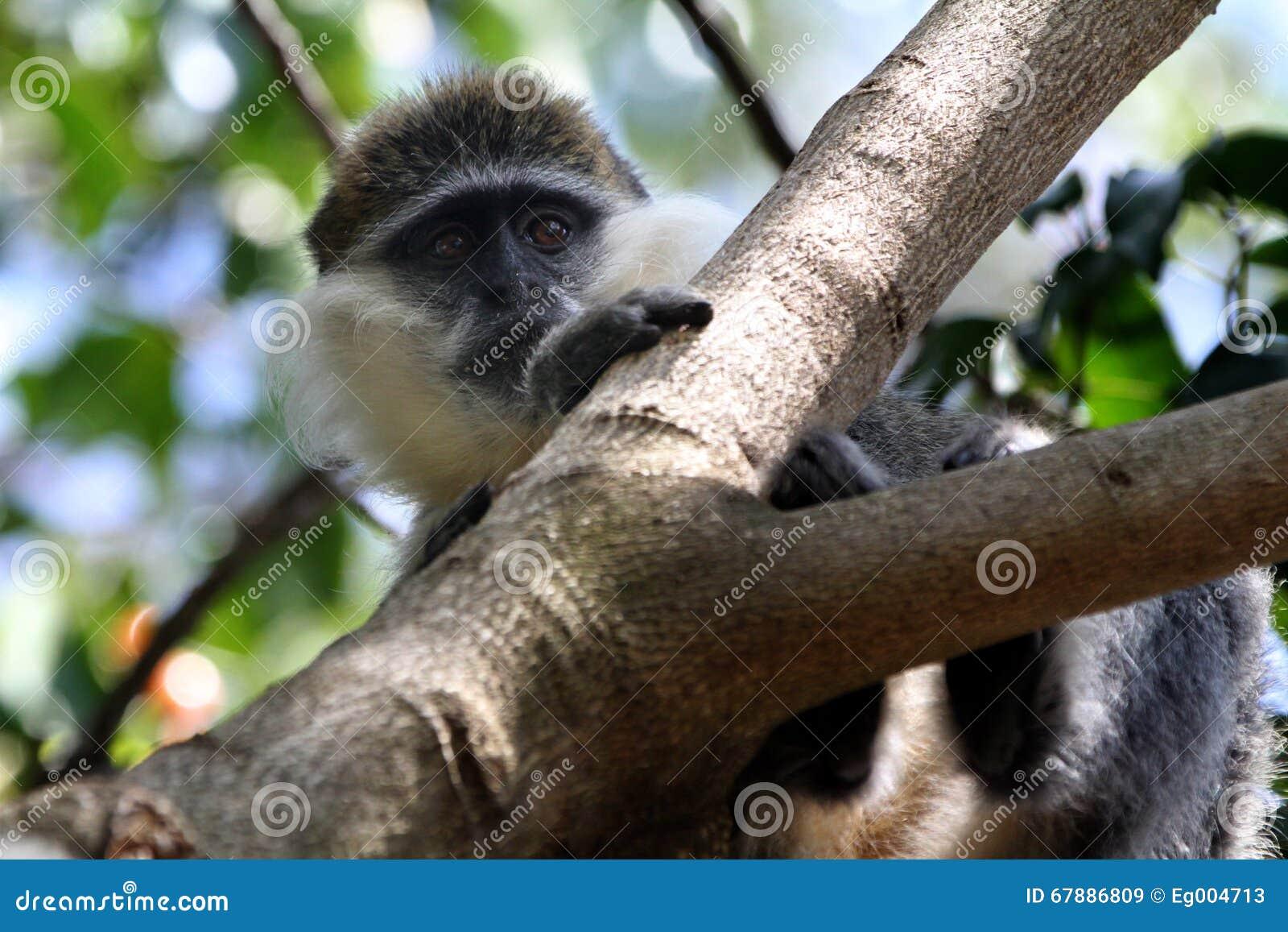在树的猴子