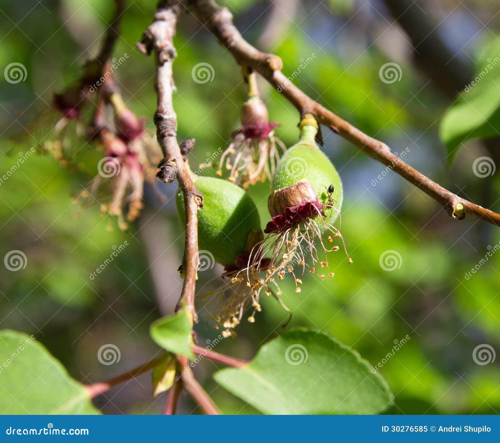 在树的绿色杏子