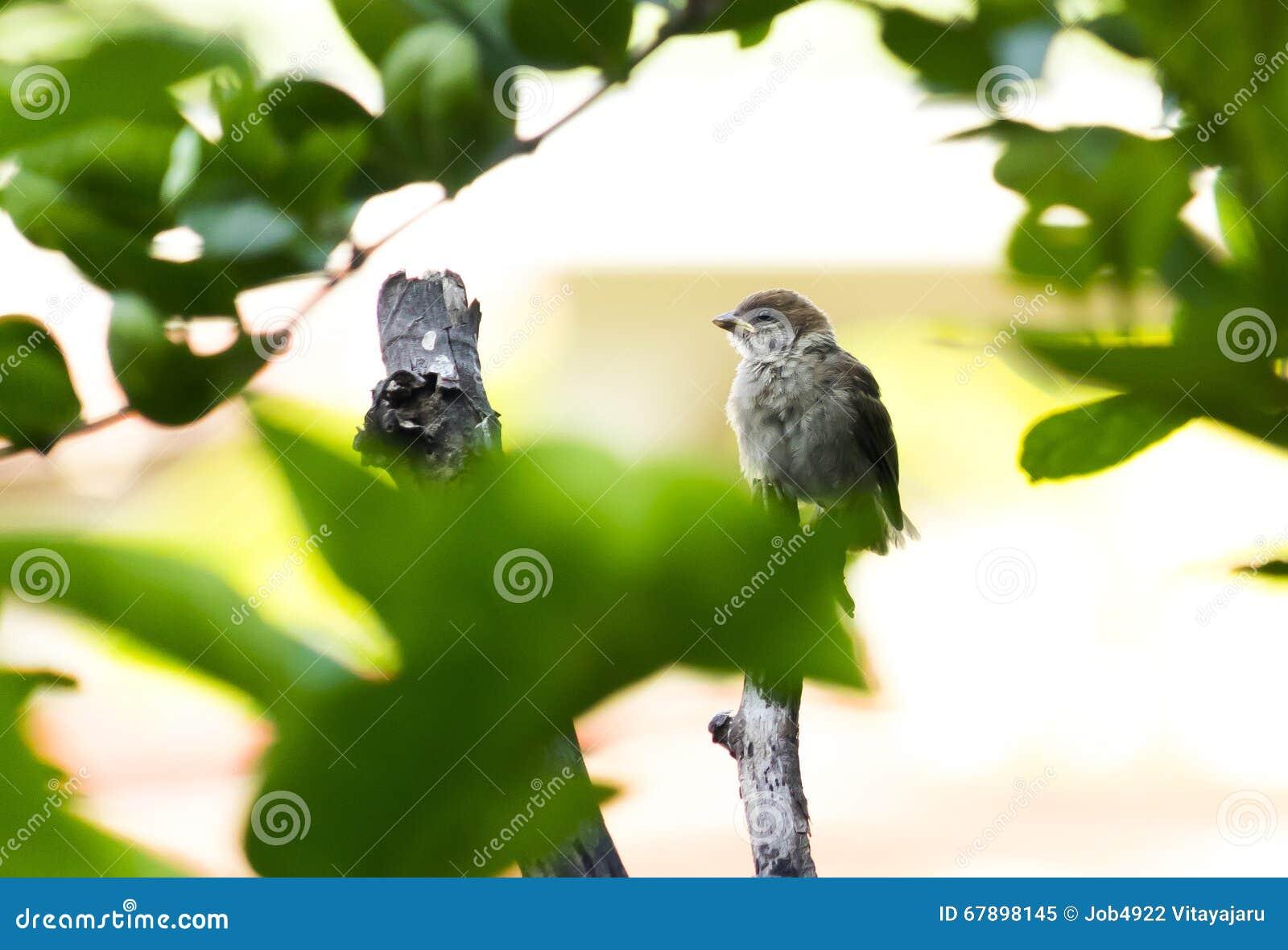 在树的麻雀