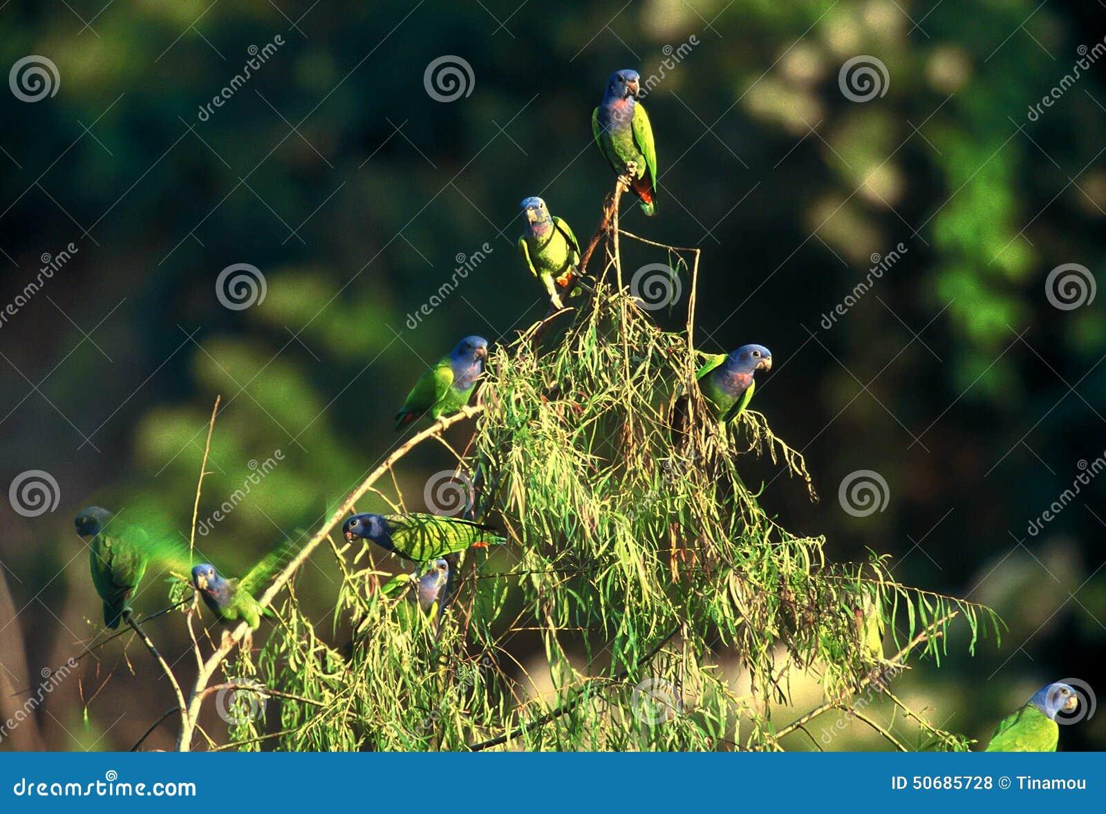 Download 在树,秘鲁的青带头的鹦鹉 库存照片. 图片 包括有 双翼飞机, 本质, 圣诞节, 蓝色, 茴香, 秘鲁, 野生生物 - 50685728
