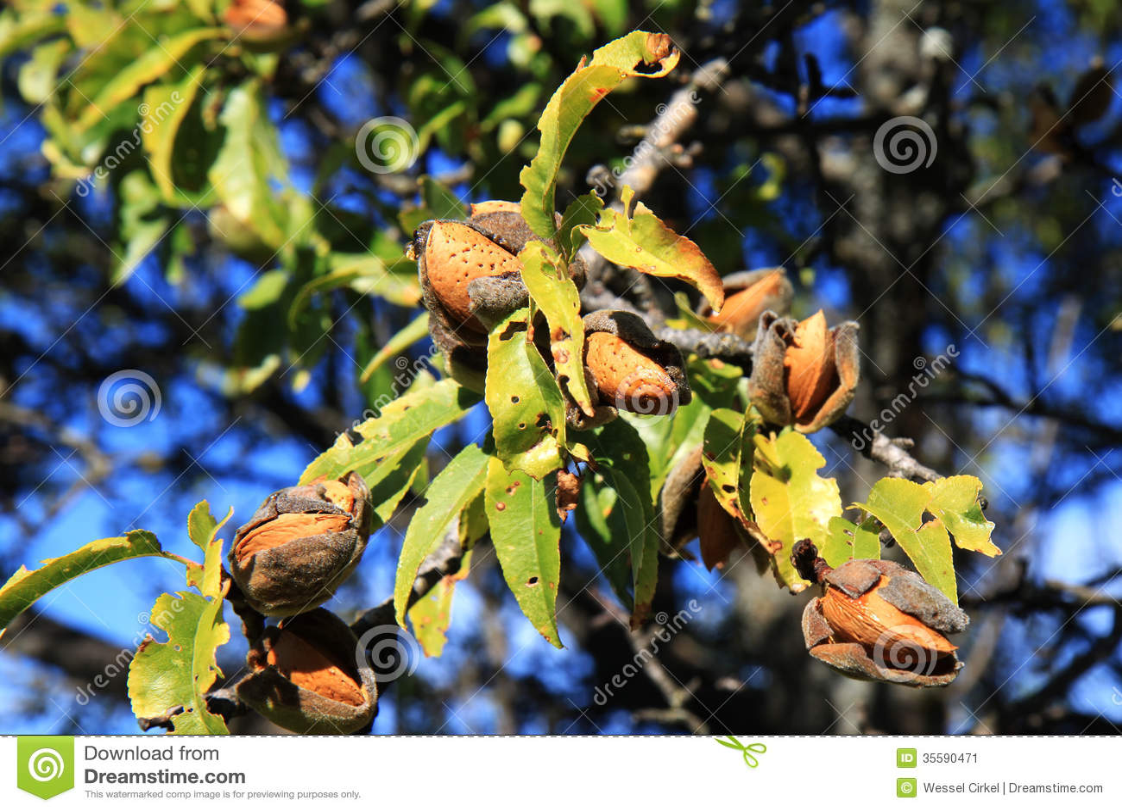 在树,阿布鲁佐,意大利的杏仁
