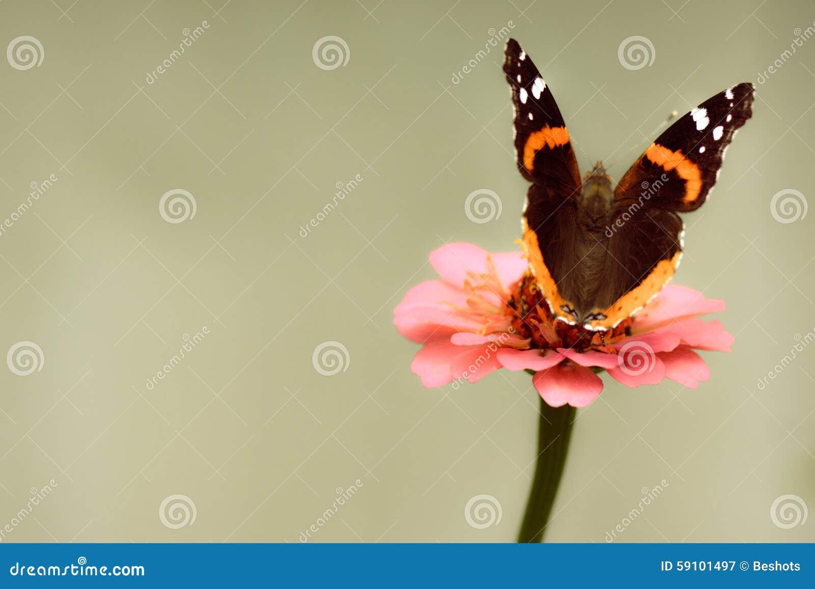 在桃红色百日菊属的红蛱蝶蝴蝶