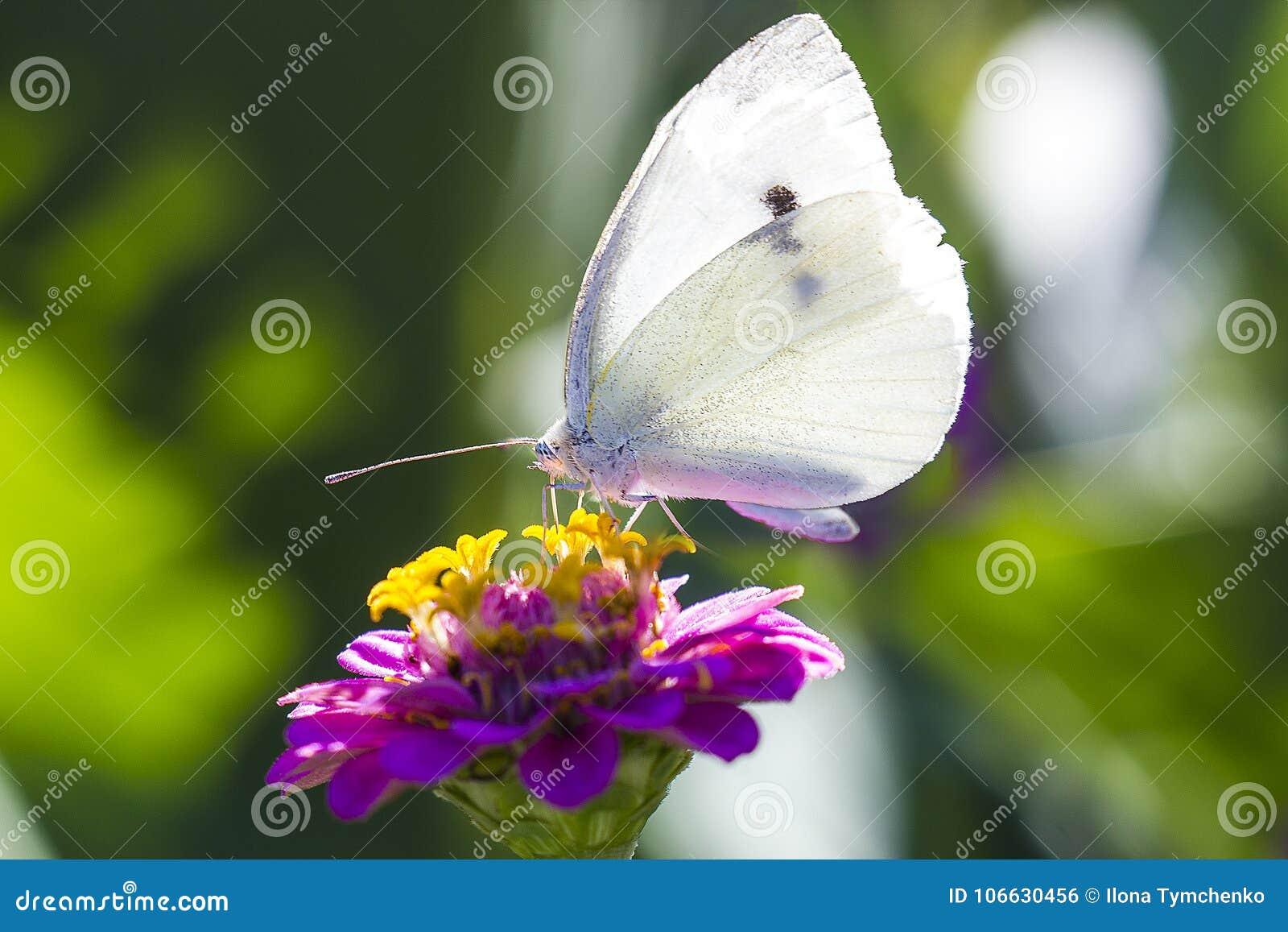 在桃红色百日菊属花的白椰菜蝴蝶