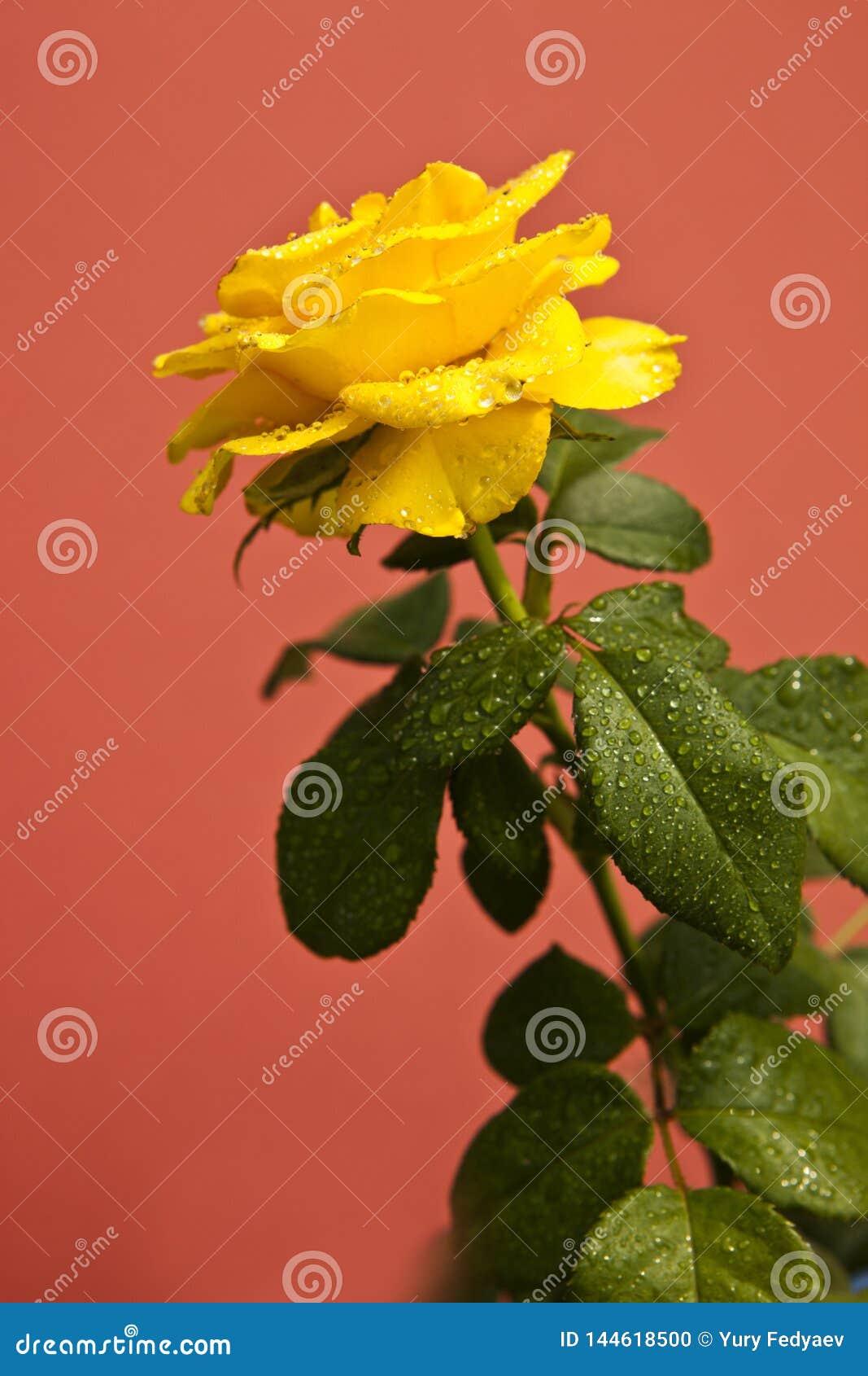 在桃红色背景,玫瑰意味的黄色玫瑰明亮,快乐和快乐造成温暖的感觉和提供幸福