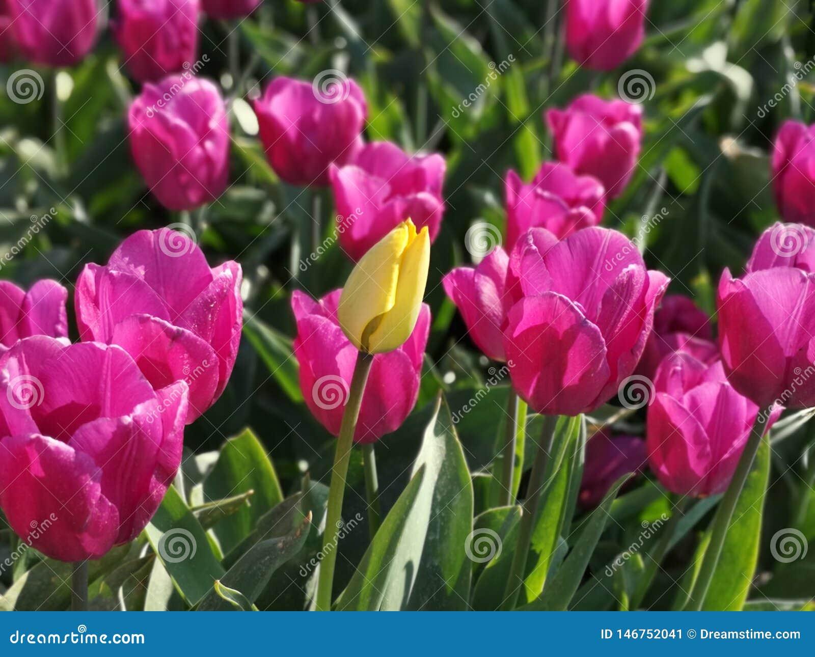 在桃红色郁金香的黄色郁金香调遣