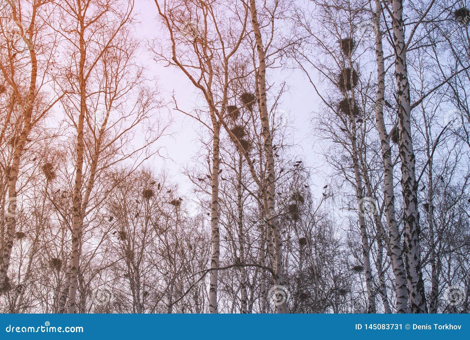 在桦树的乌鸦巢在日落和月亮