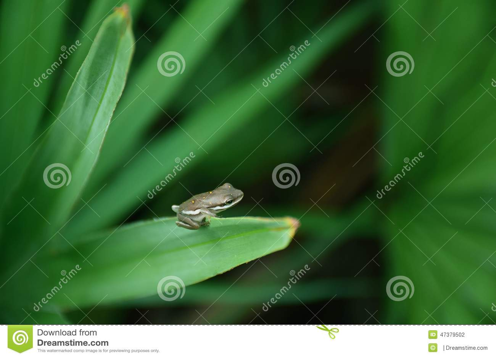 在棕榈叶状体的雨蛙