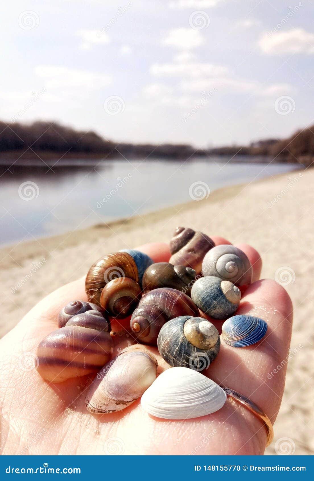 在棕榈的河壳