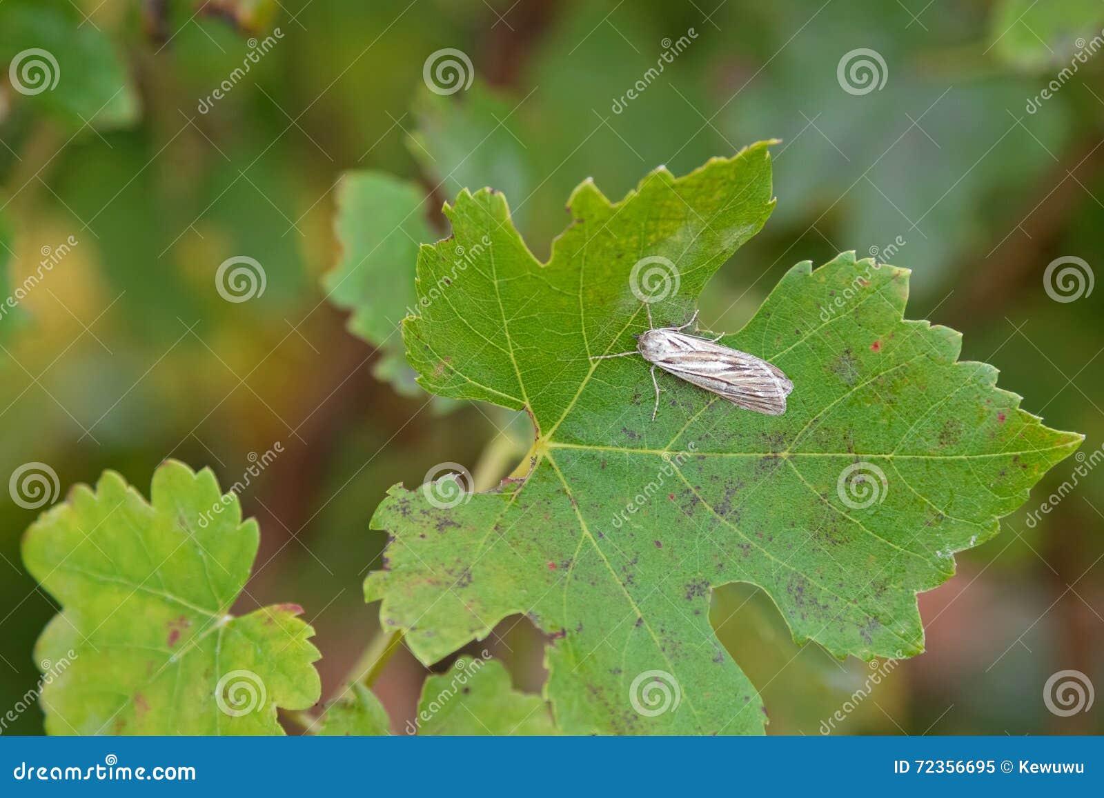 在棕色和灰色翼的飞蛾在绿色叶子 gr的危险虫