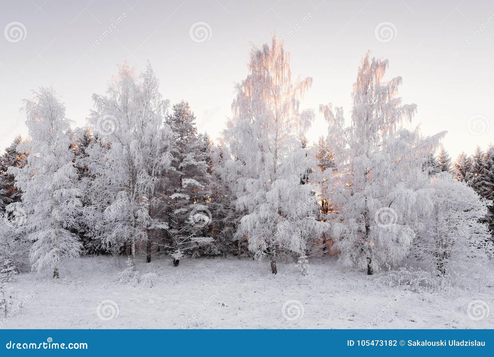 在森林横向射击雪结构树冬天之上 用HoarfrostWinter桦树树丛盖的雪白桦树森林在桃红色口气的日落 少量Winte