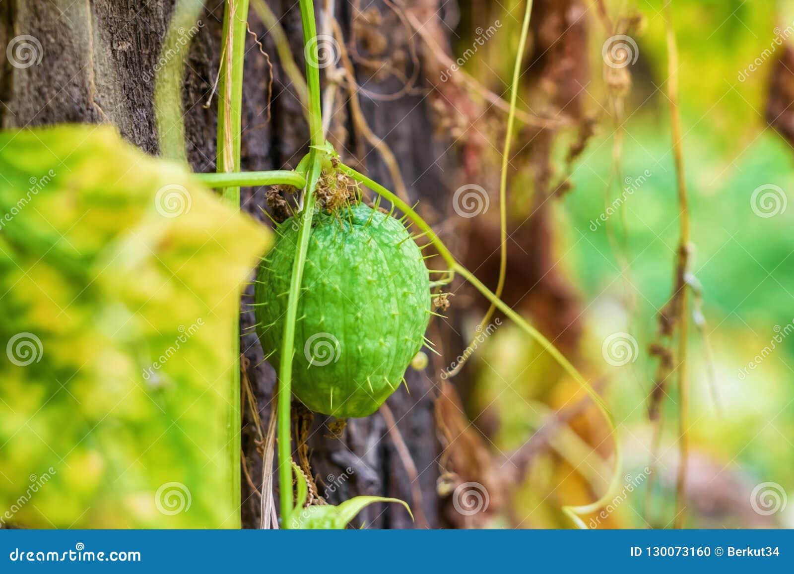 在森林洪泛区河种植的狂放的黄瓜果子