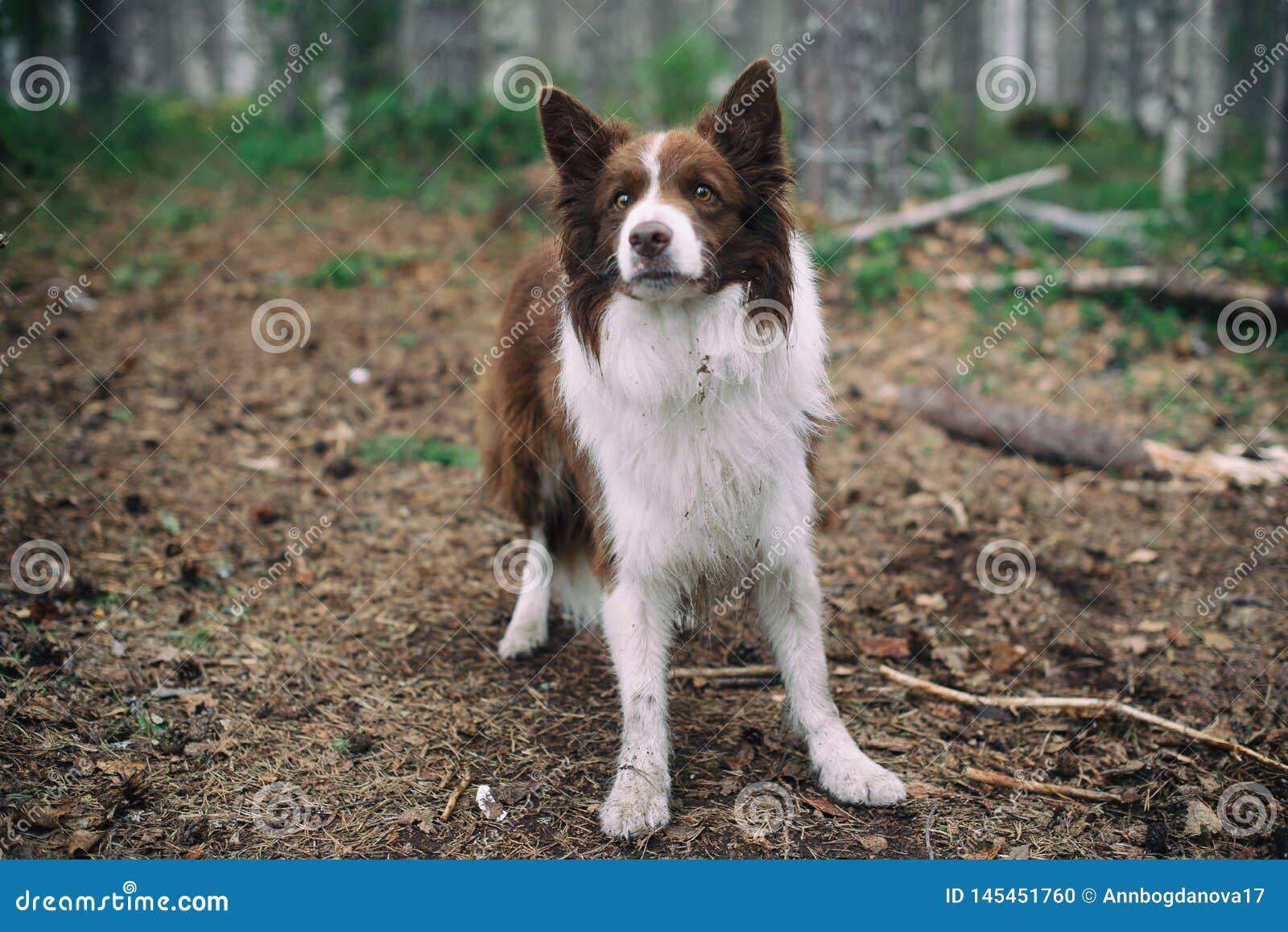 在森林褐色博德牧羊犬的狗在森林里
