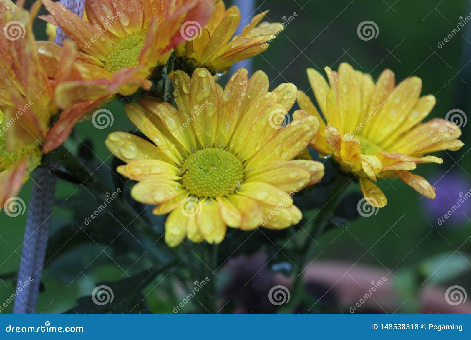 在橙色和红色花旁边的黄色花