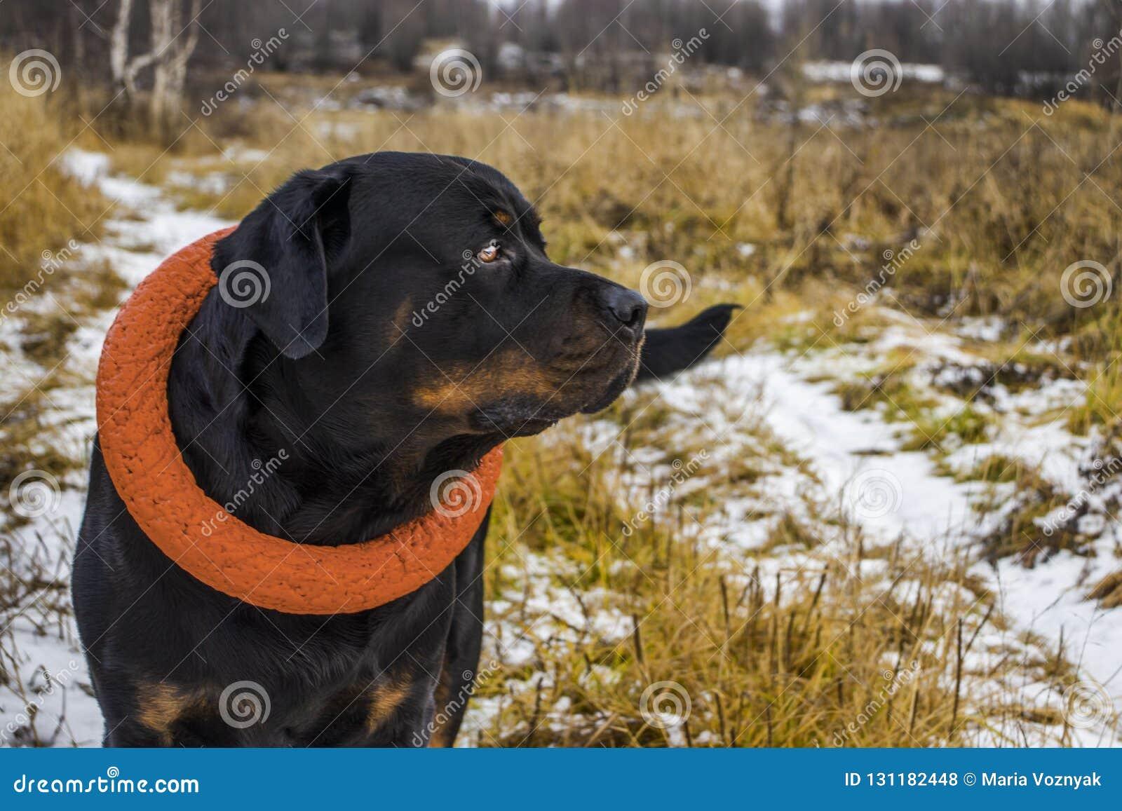在步行的快乐的Rottweiler