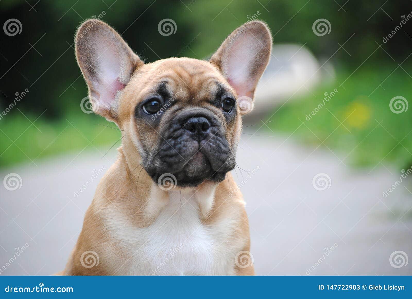 在步行的法国牛头犬小狗