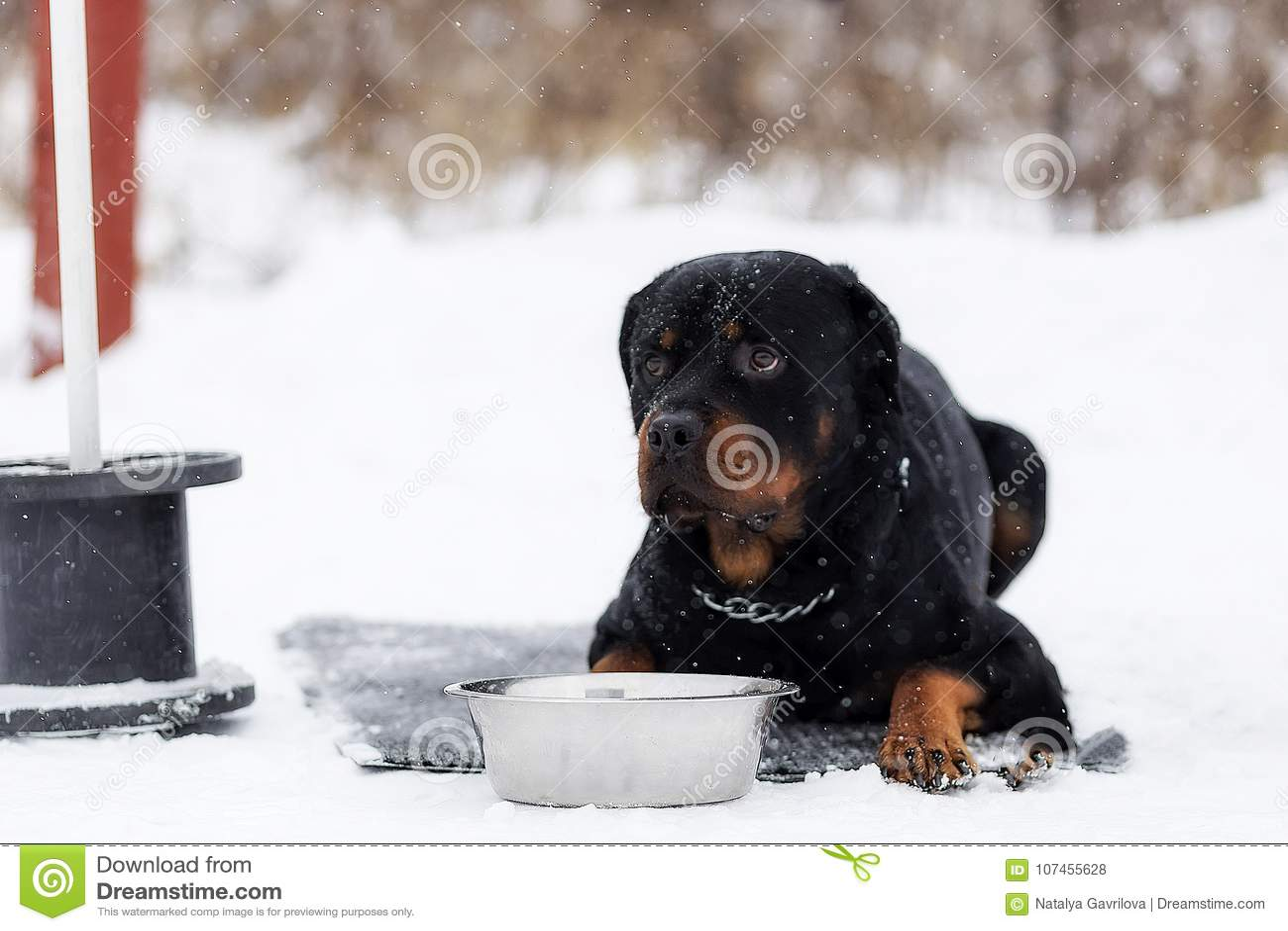 在步行的Rottweiler