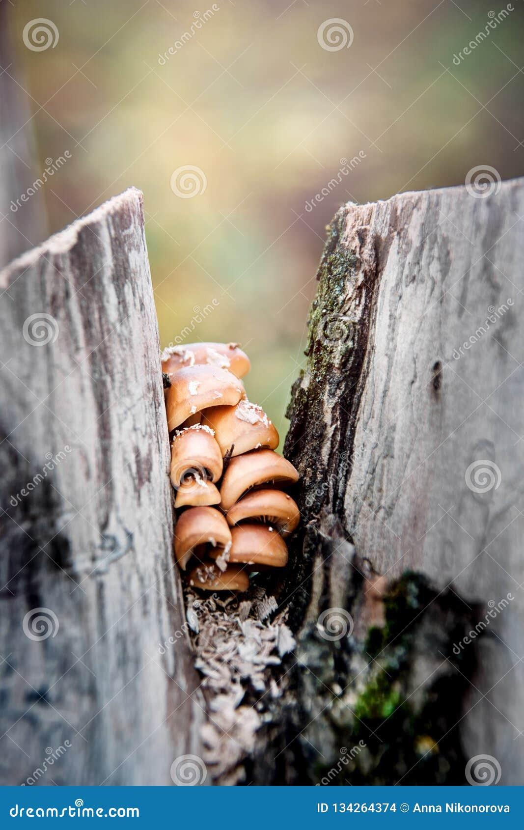 在残余部分的秋天蘑菇