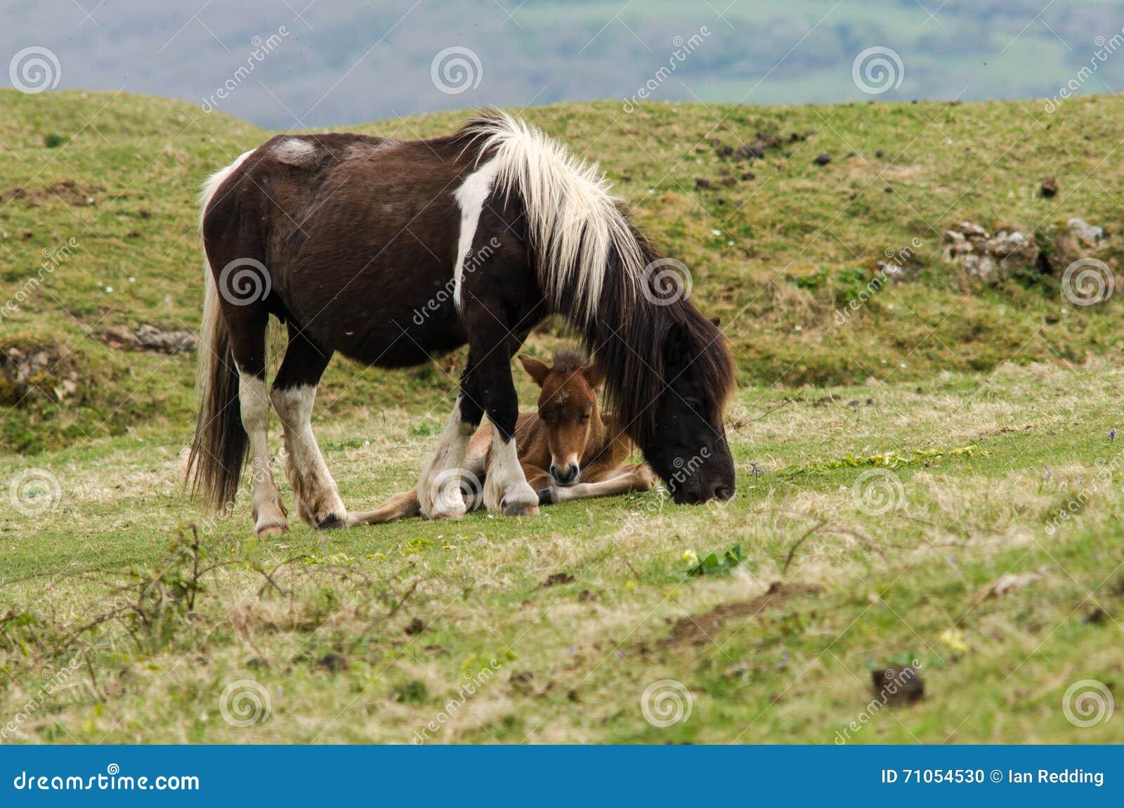 在母亲的腿之间的Dartmoor小马公驹