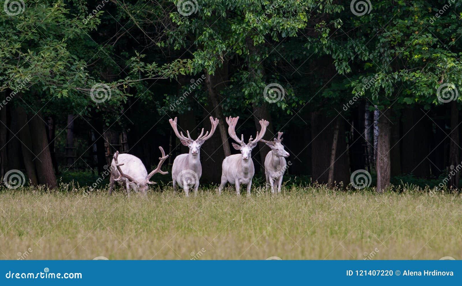 在比赛储备, bacgroung的森林的四头庄严白色鹿