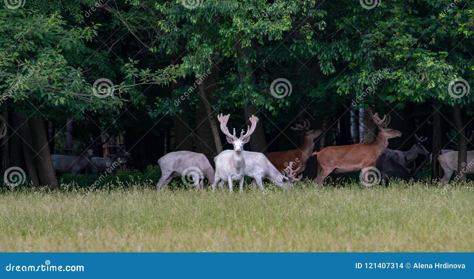 在比赛储备, backgroung的森林的一些庄严白色和棕色鹿