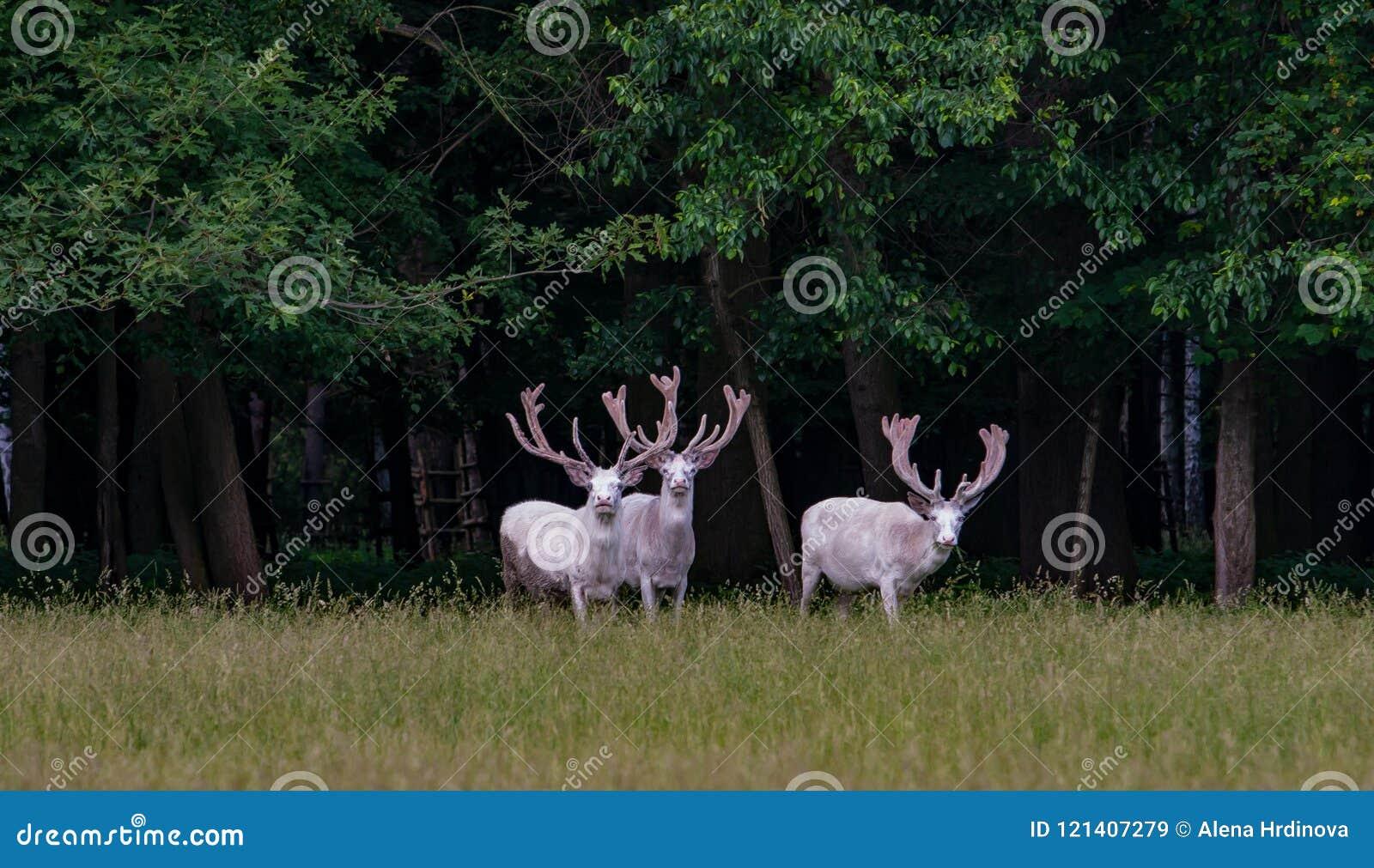 在比赛储备, backgroung的森林的三头庄严白色鹿