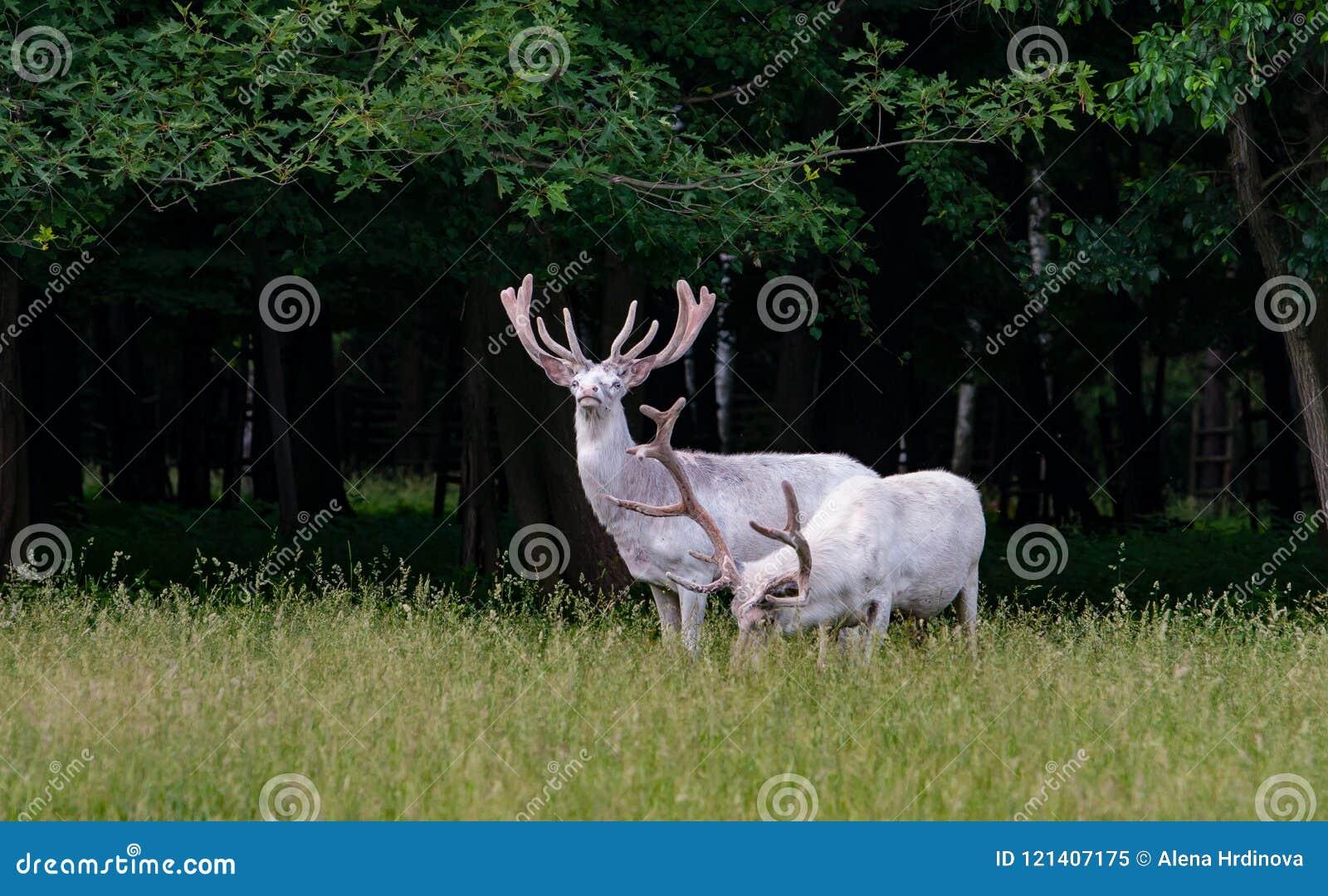 在比赛储备, backgroung的森林的两头庄严白色鹿