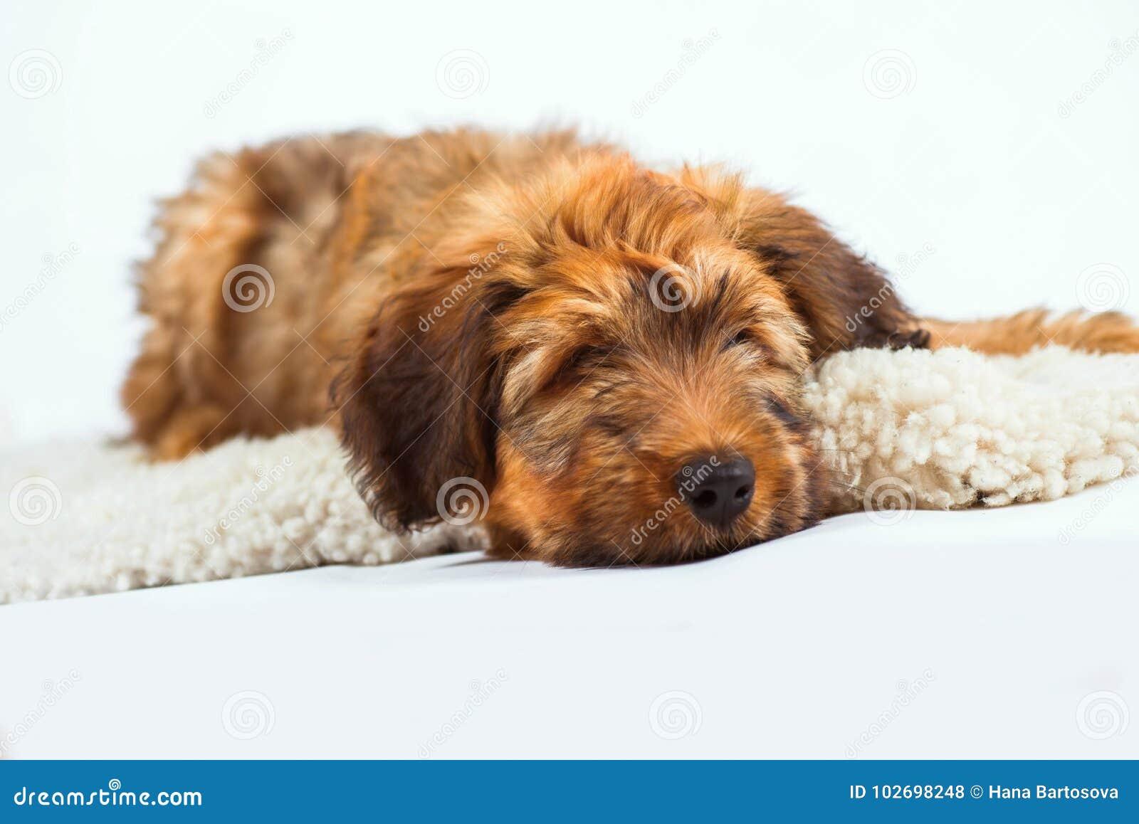 在毛皮的松弛逗人喜爱的小狗