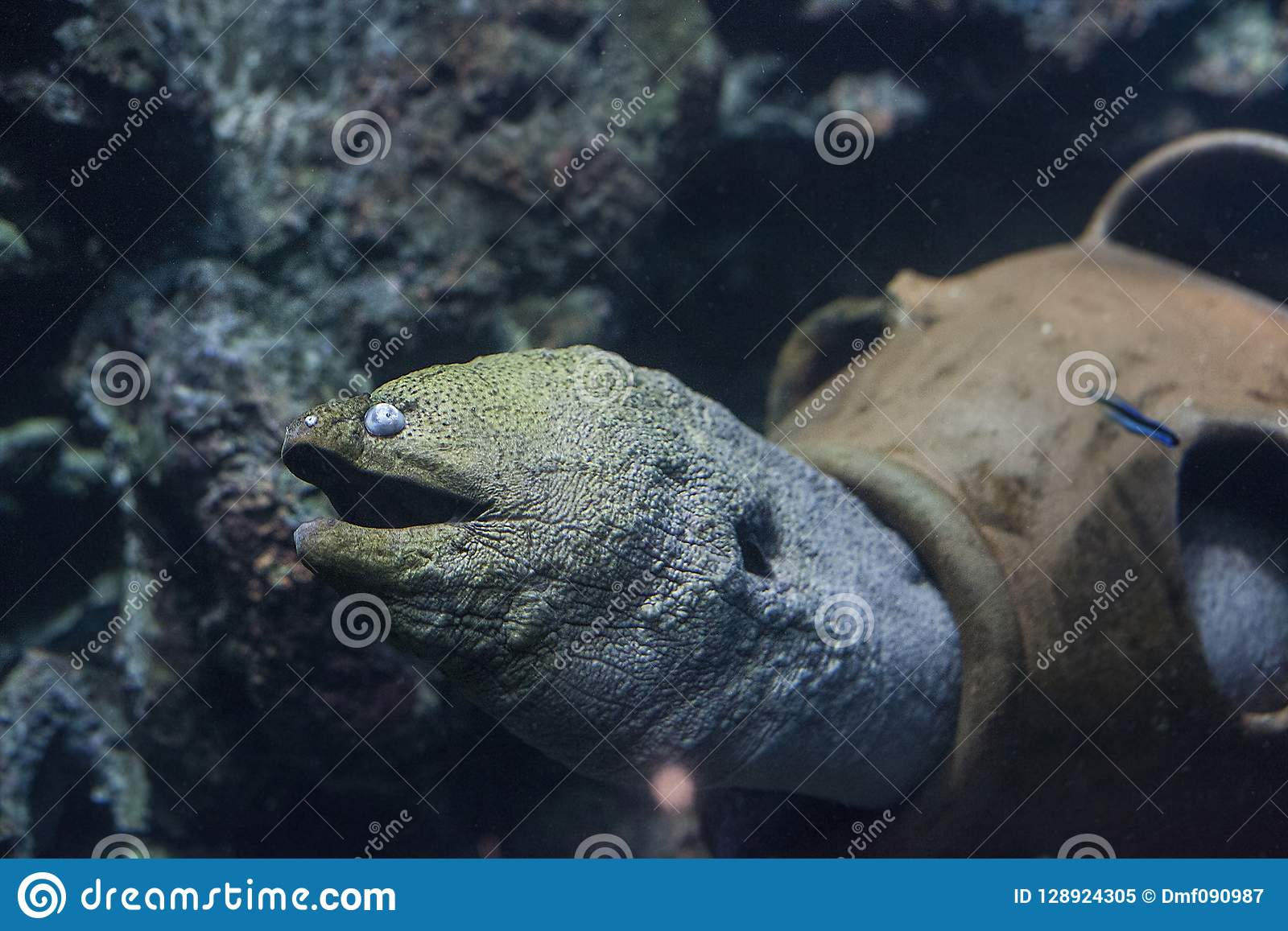在水族馆的巨型海鳗鱼Gymnothorax javanicus
