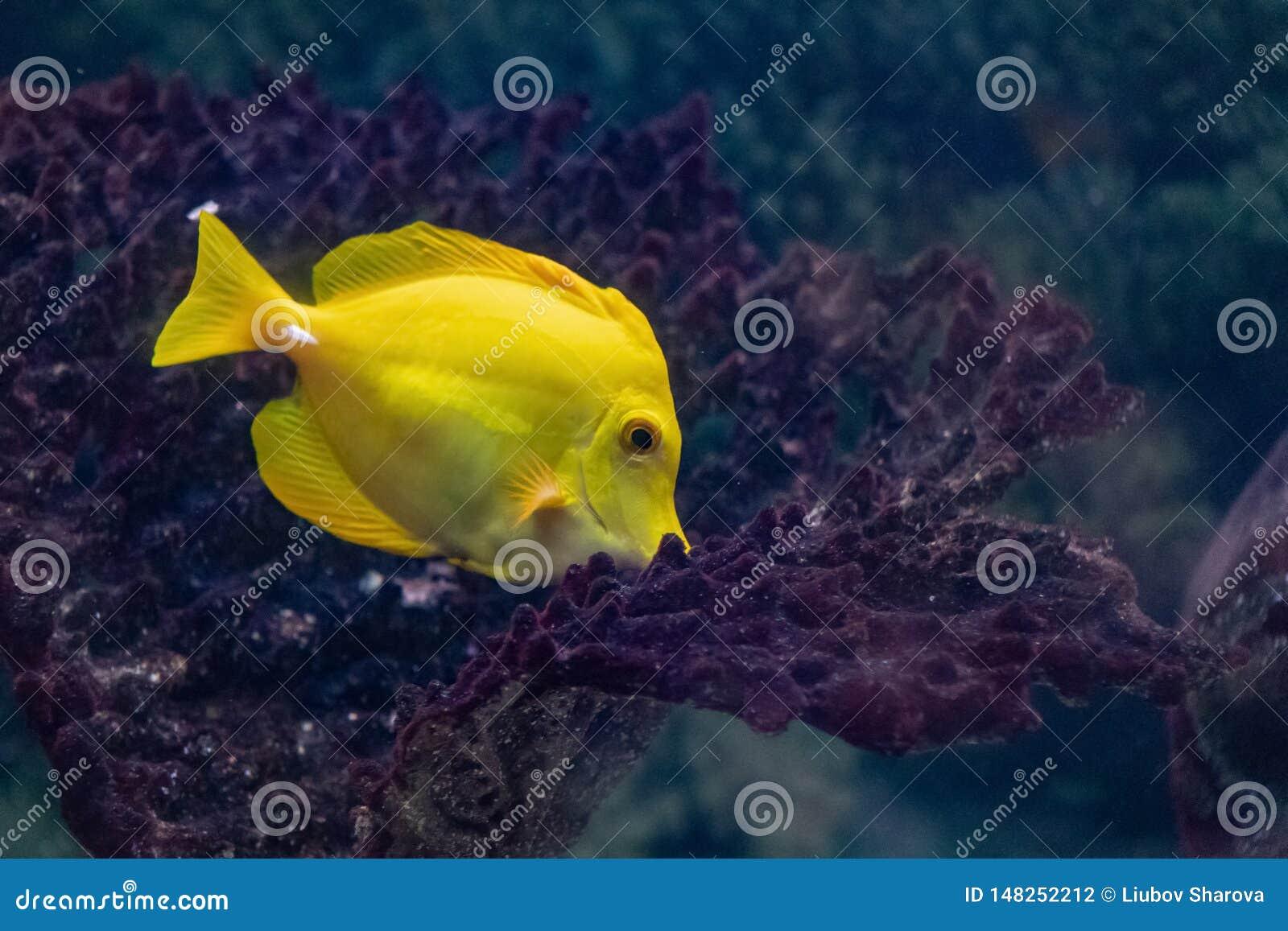 在水族馆的明亮的珊瑚鱼Zebrasoma黄色