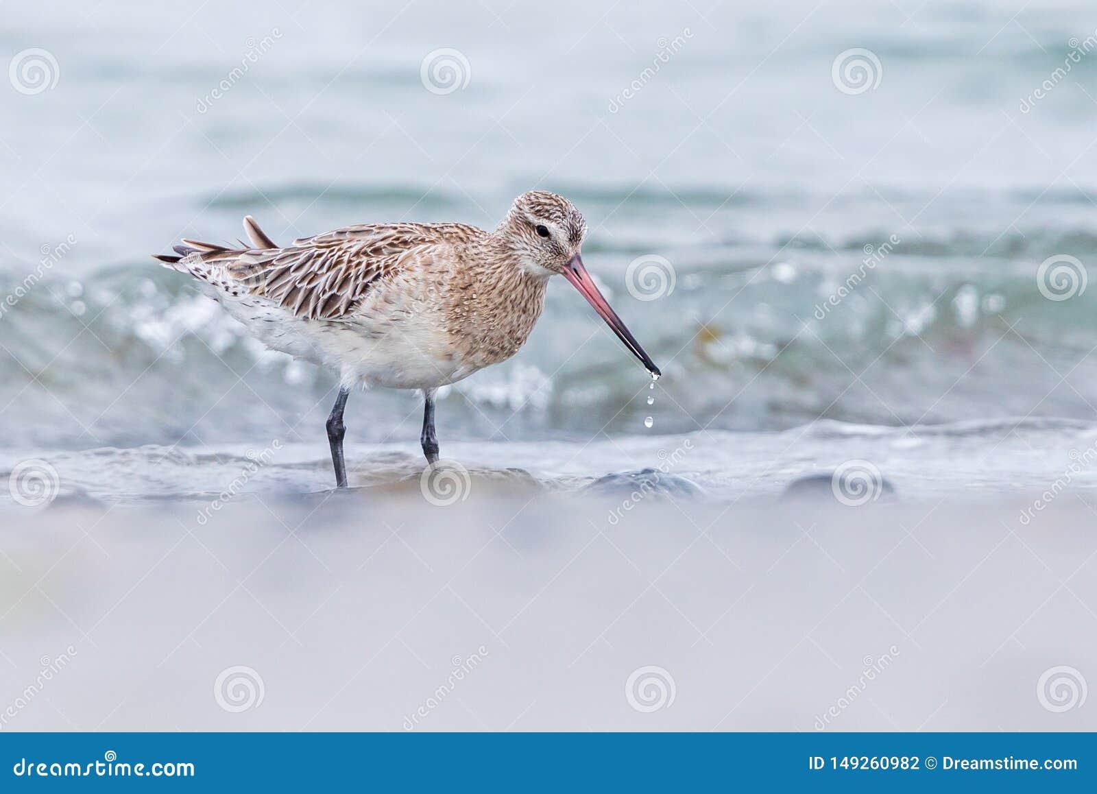 在水源的一只kivi鸟