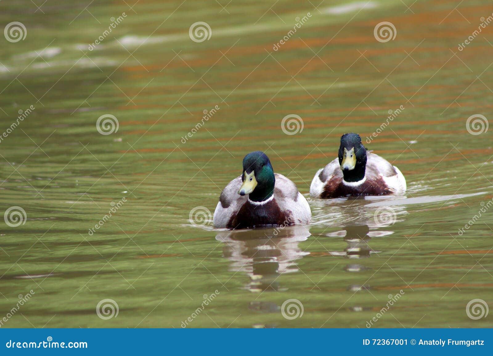 在水的鸭子