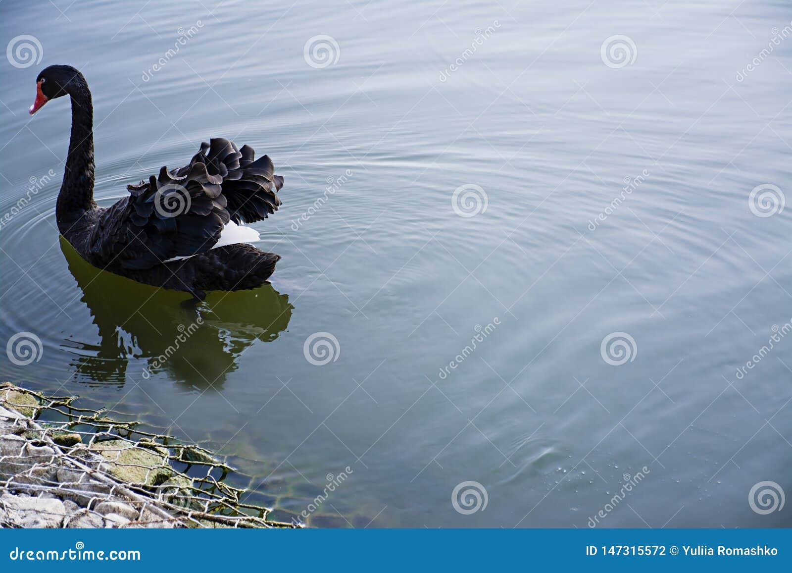 在水的黑天鹅浮游物 野生鸟自由鸟 r