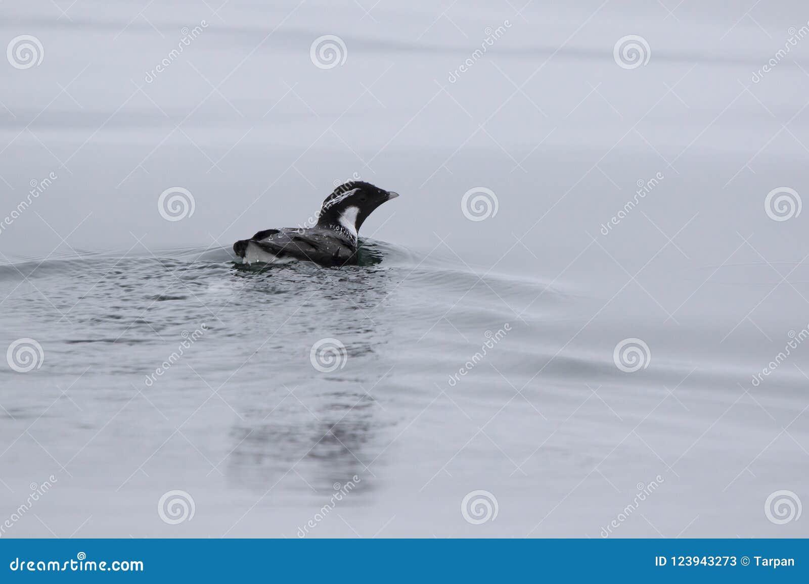 在水阴云密布天游泳的古老murrelet
