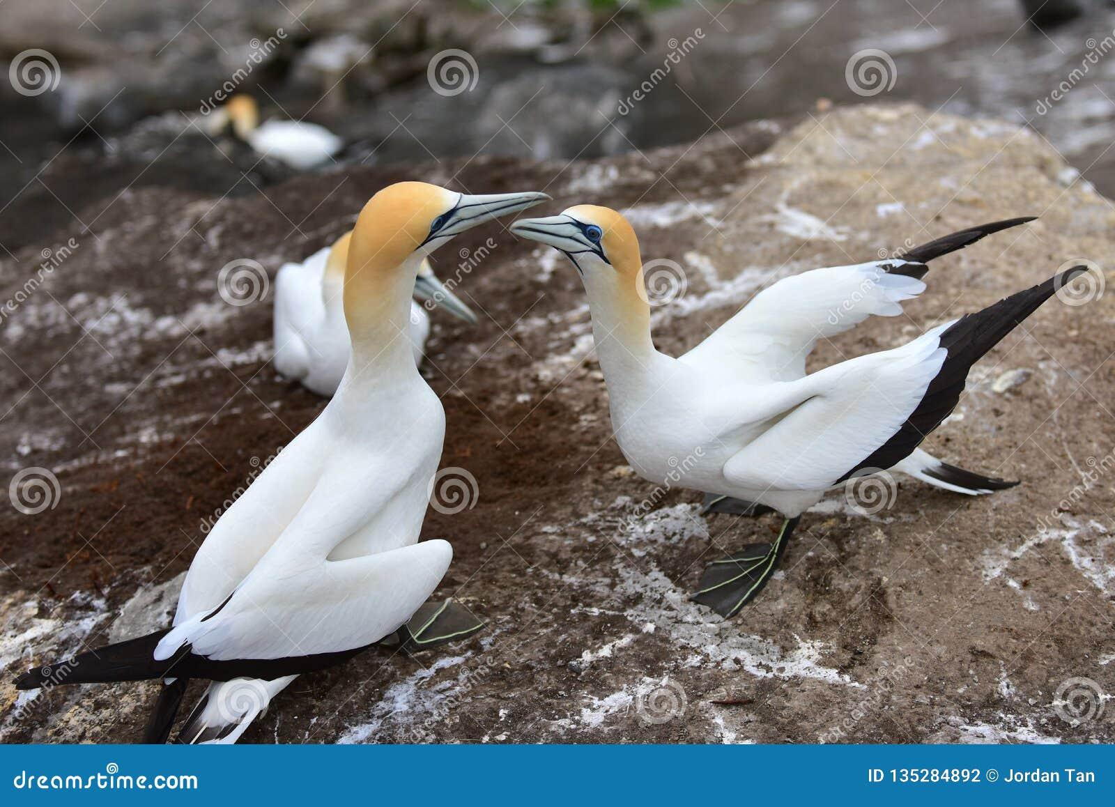 在求爱的狂放的gannets在Muriwai,新西兰
