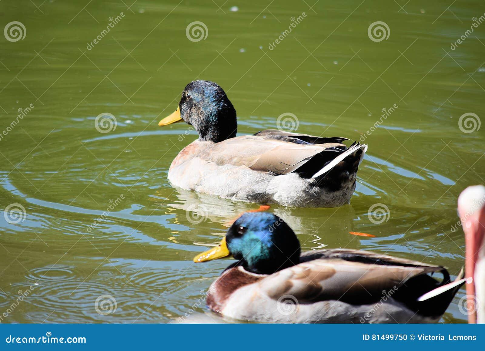 在池塘的两只公野鸭鸭子