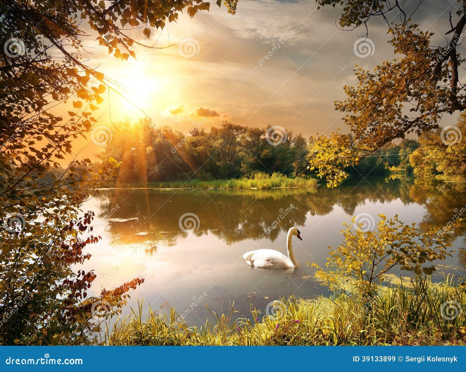 在池塘的天鹅