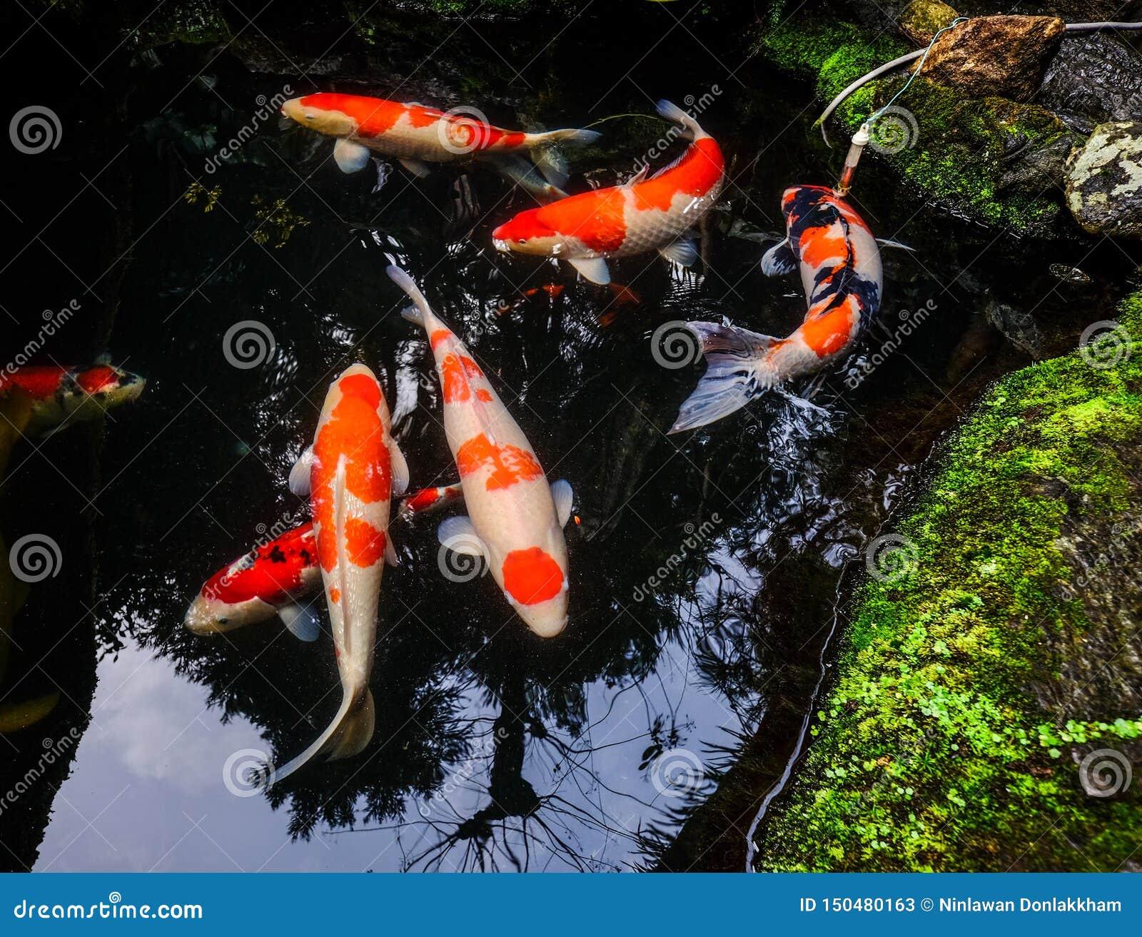 在池塘的小井鱼在京都,日本
