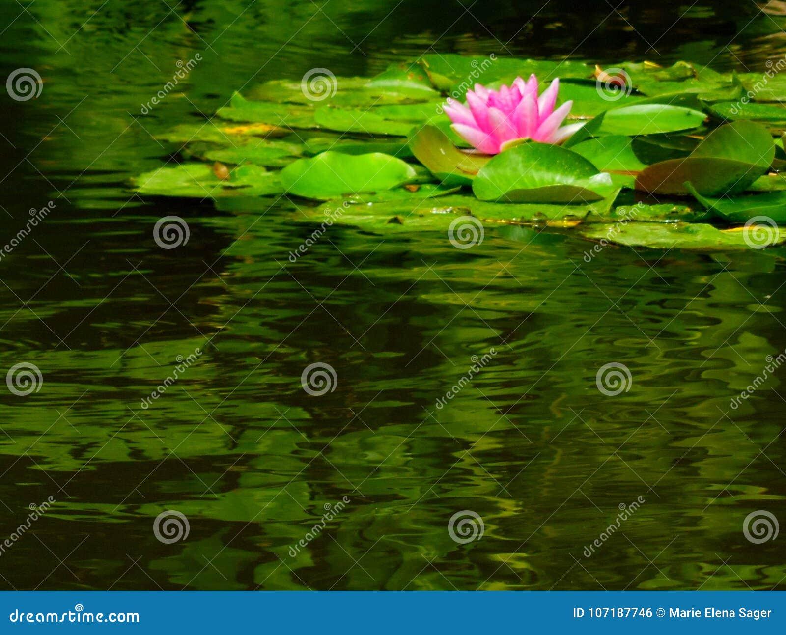 在池塘的桃红色荷花