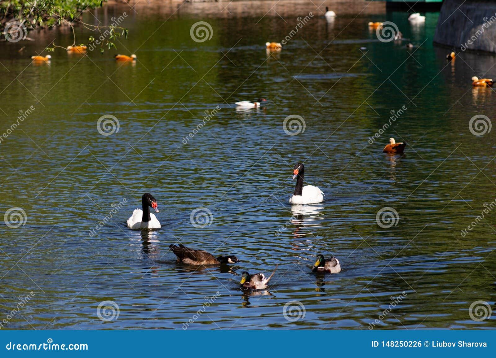 在池塘的水鸟在公园