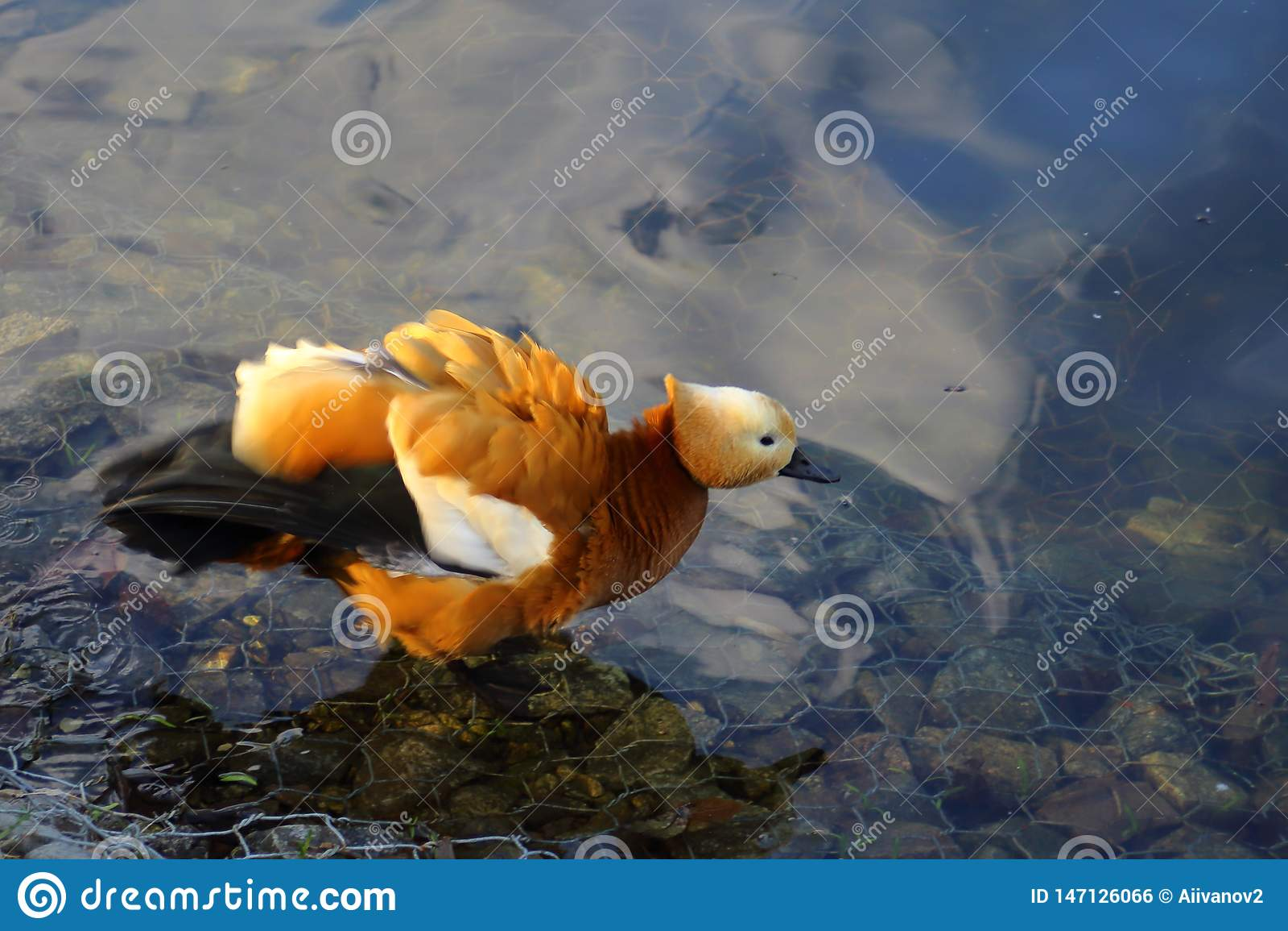 在池塘的红润shelduck