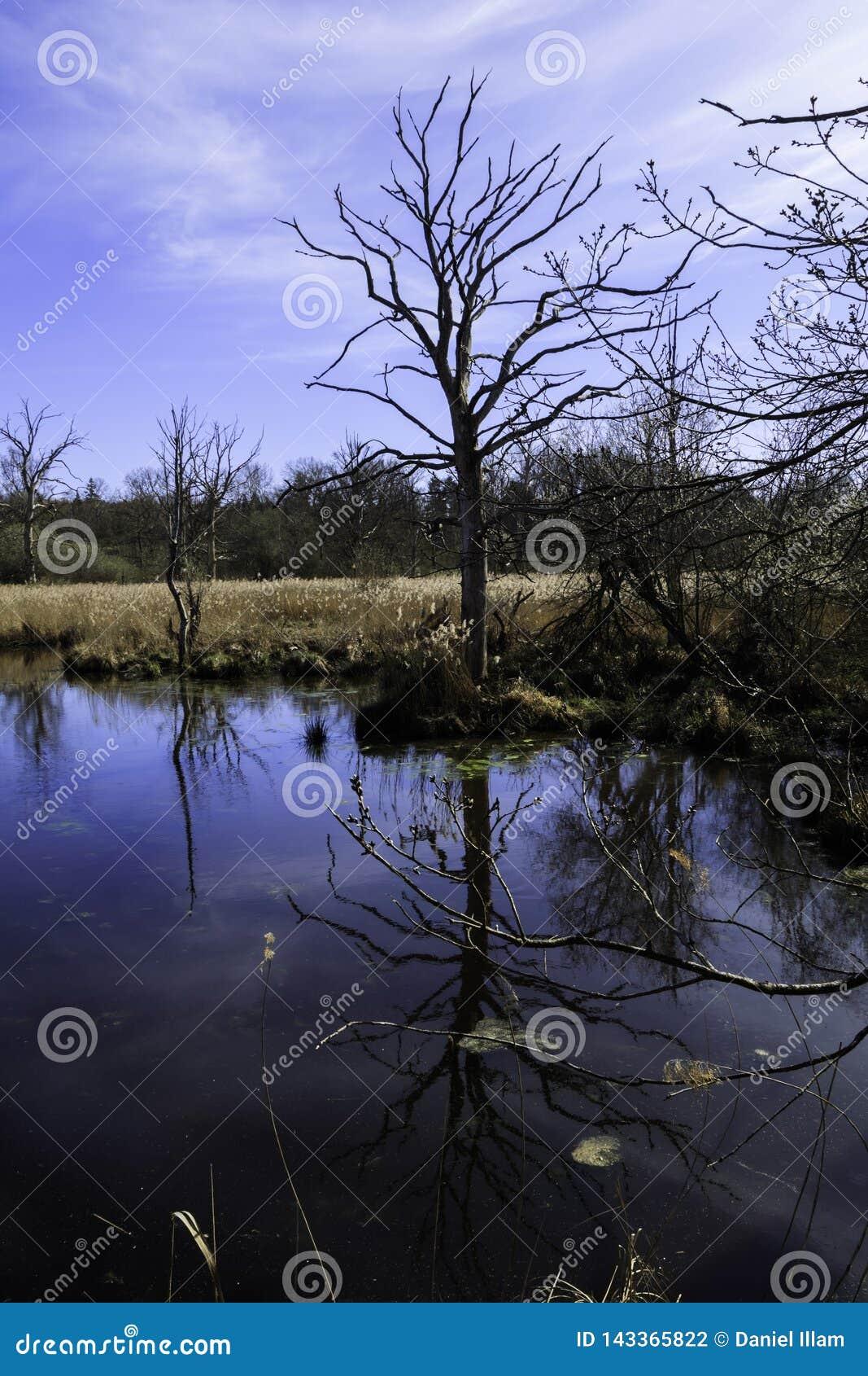 在池塘的边缘的死的树