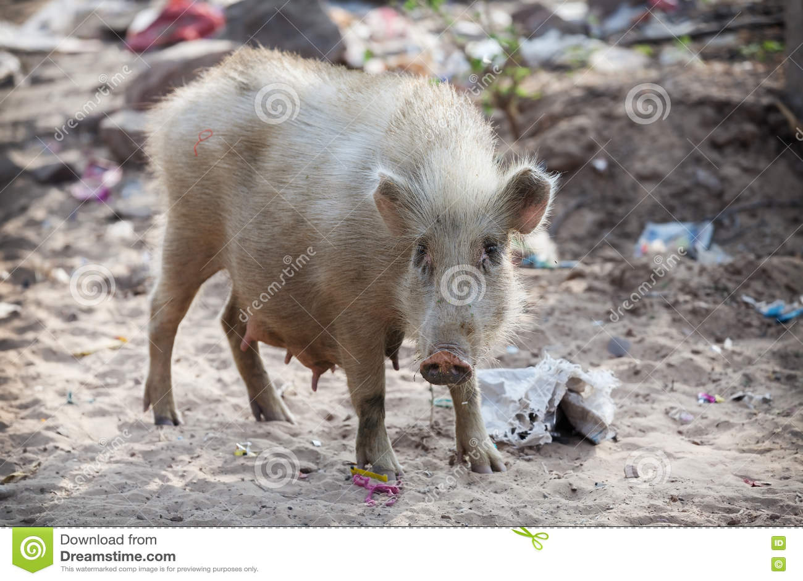在污染的沙子的猪 东南亚