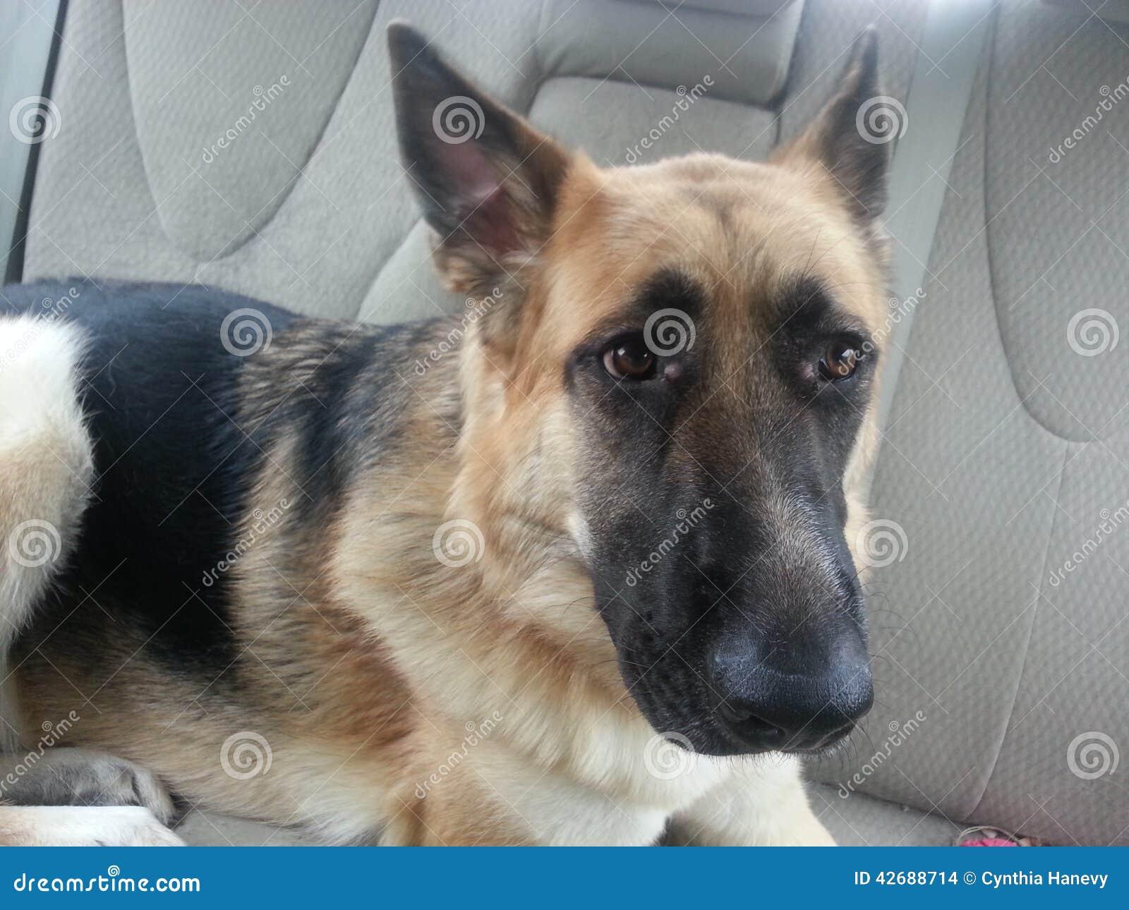 在汽车的狗