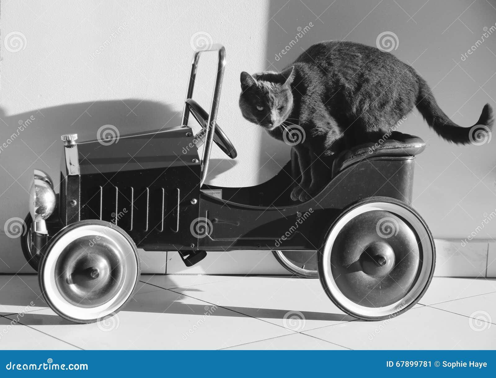 在汽车的纯血统猫