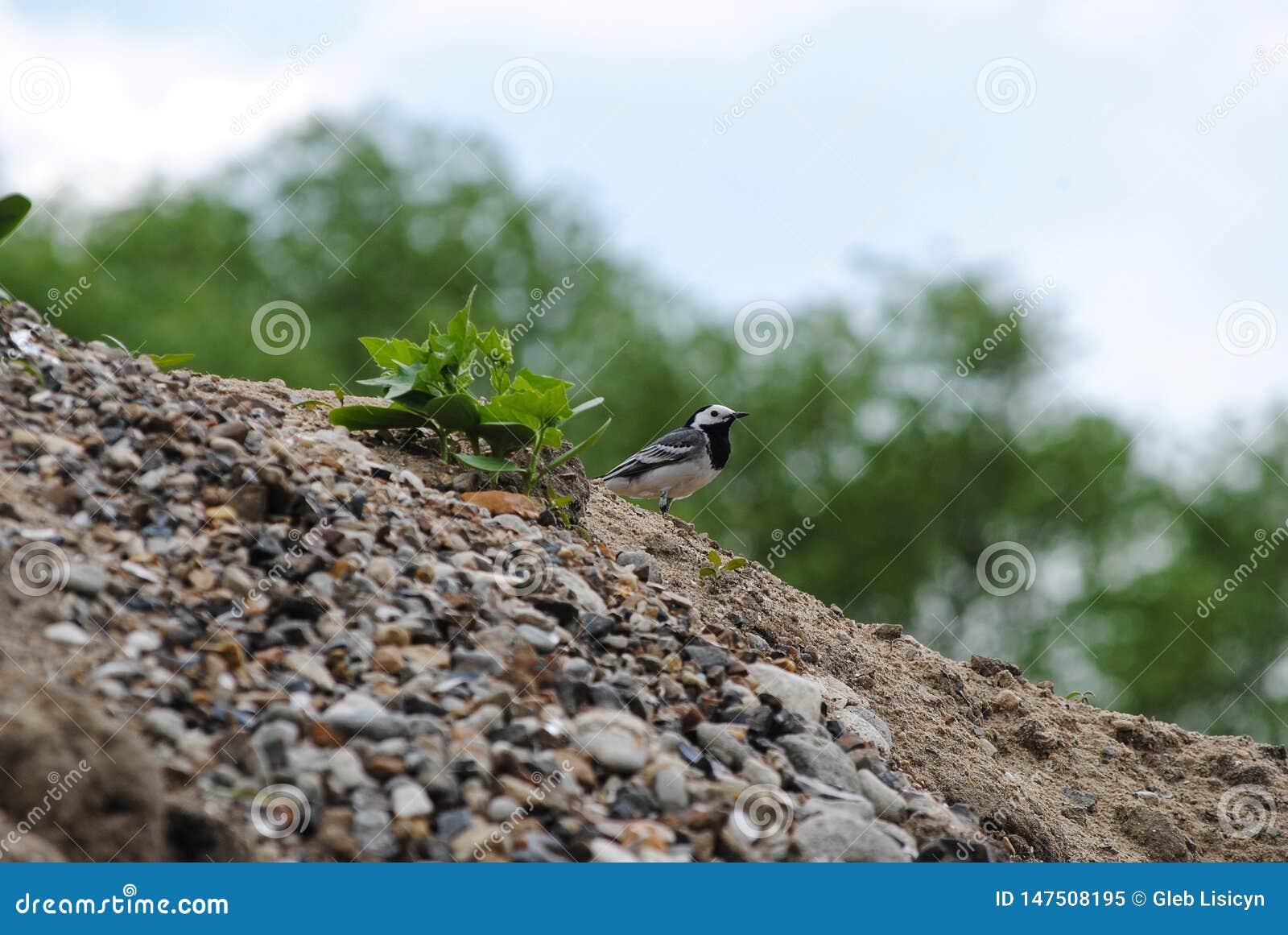 在沙子和石头的鸟