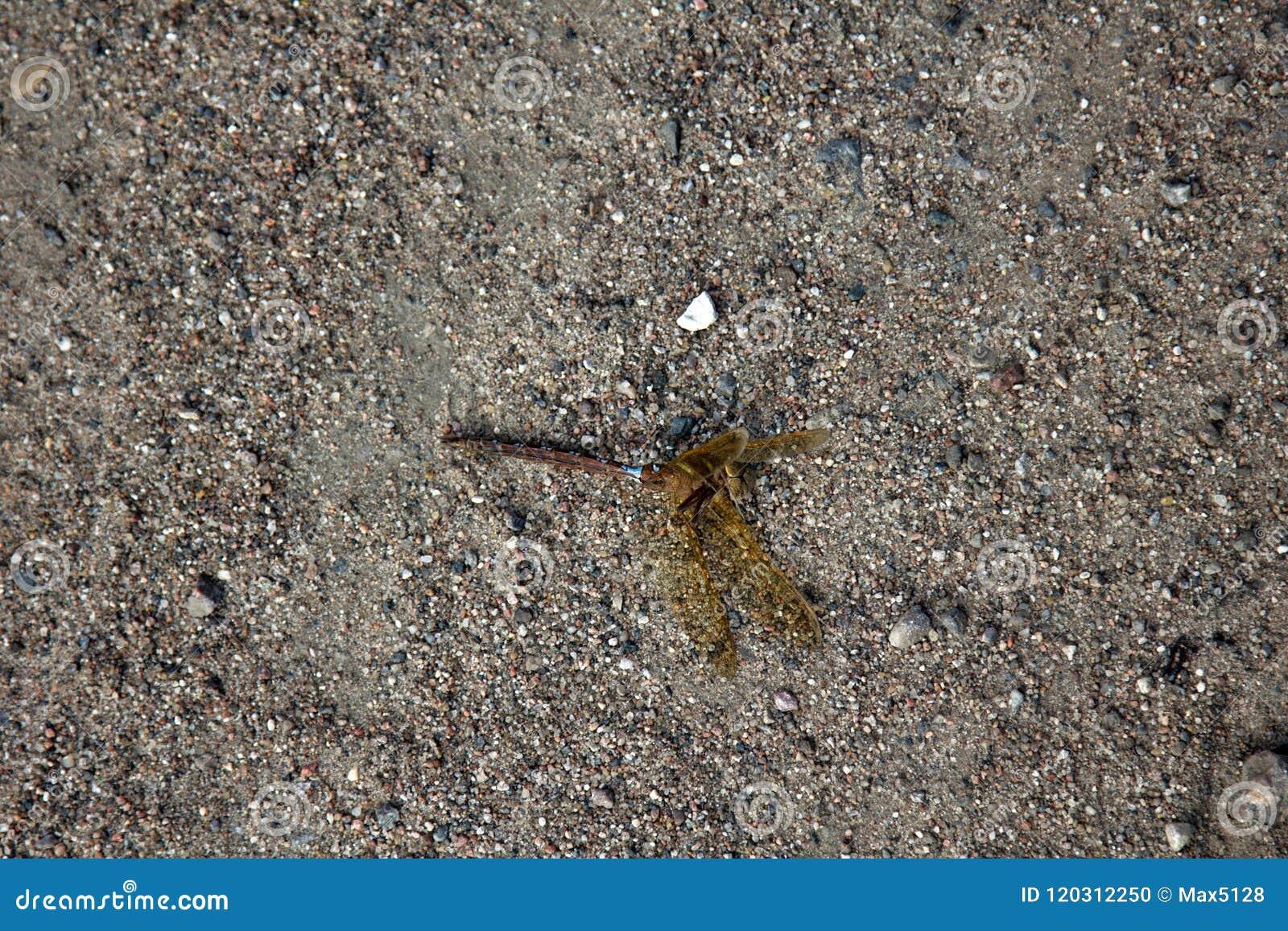 在沙子的死的蜻蜓
