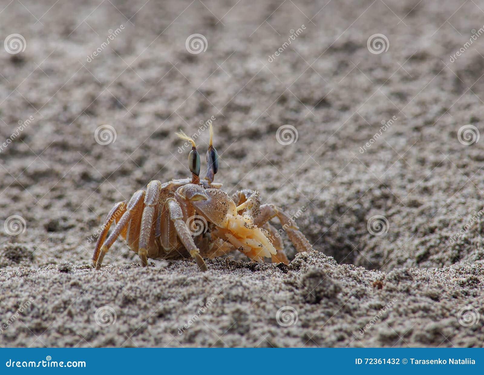 在沙子的螃蟹